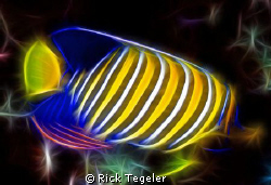 Regal angelfish....enjoy! by Rick Tegeler 